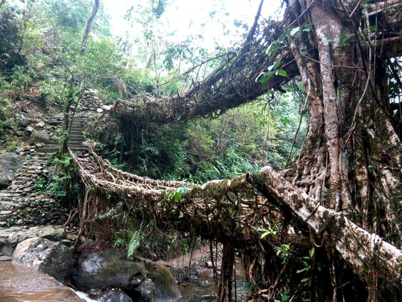 History Of Living Root Bridge